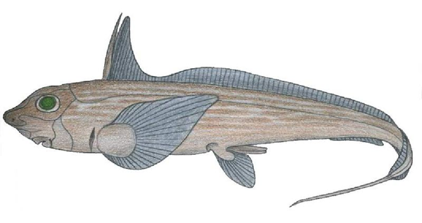 Chimaera monstrosa.  One of the extinct subclasses